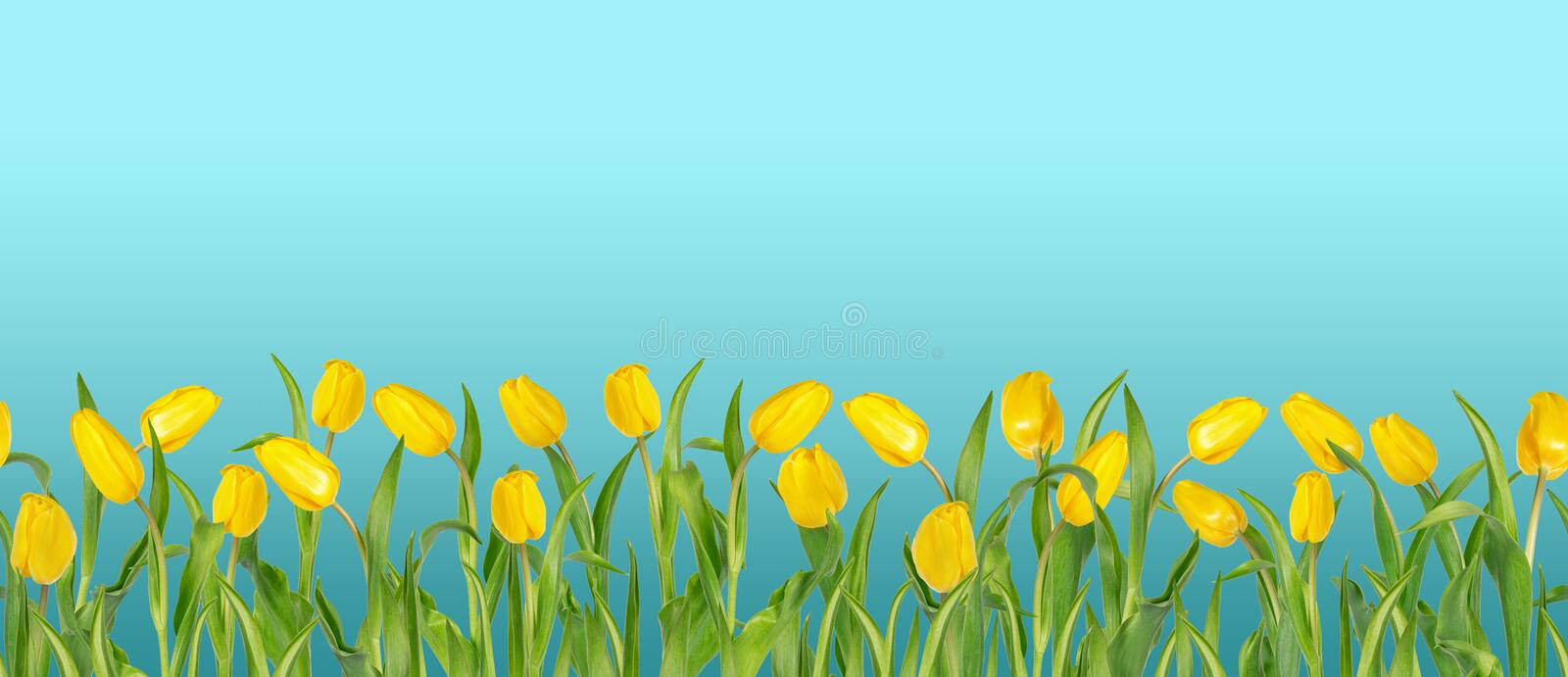 Beautiful vivid yellow tulips on long stems with green leaves arranged in seamless row. Blue sky background. Bright spring flowers. Can be used as a banner or stock images