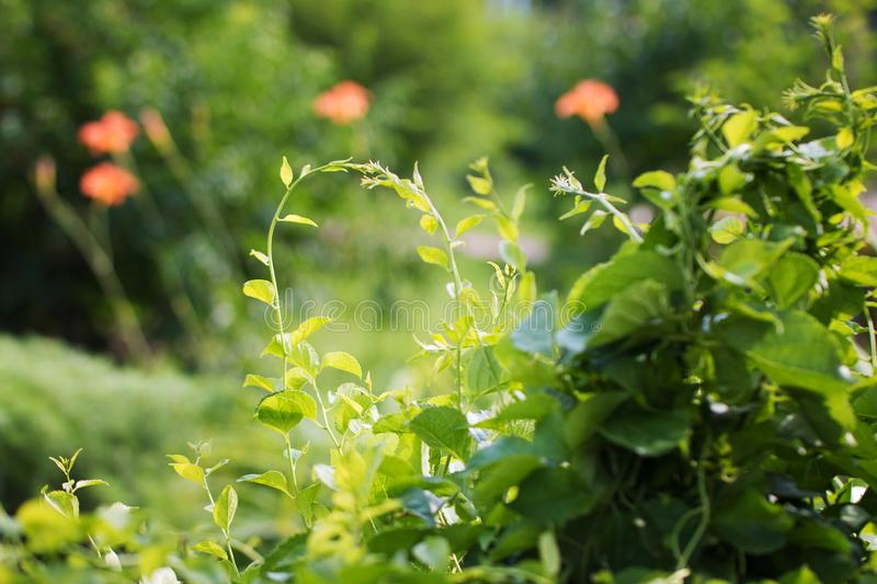 Beautiful vowing plants in the park on a sunny day. Summer flower background. Front view stock images