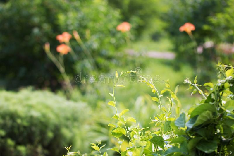Beautiful vowing plants in the park on a sunny day. Summer flower background. Front view stock photo