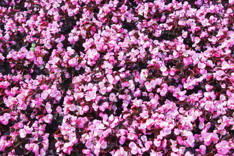 Beautiful wall made of red violet purple flowers, roses, tulips, press-wall, royalty free stock photography