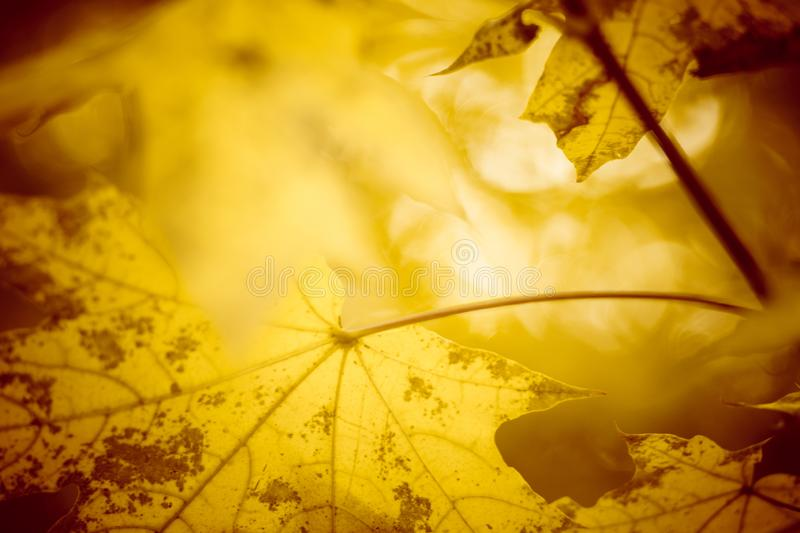 Beautiful warm autumn background with maple leaves and sunlight. Selective art focus royalty free stock images