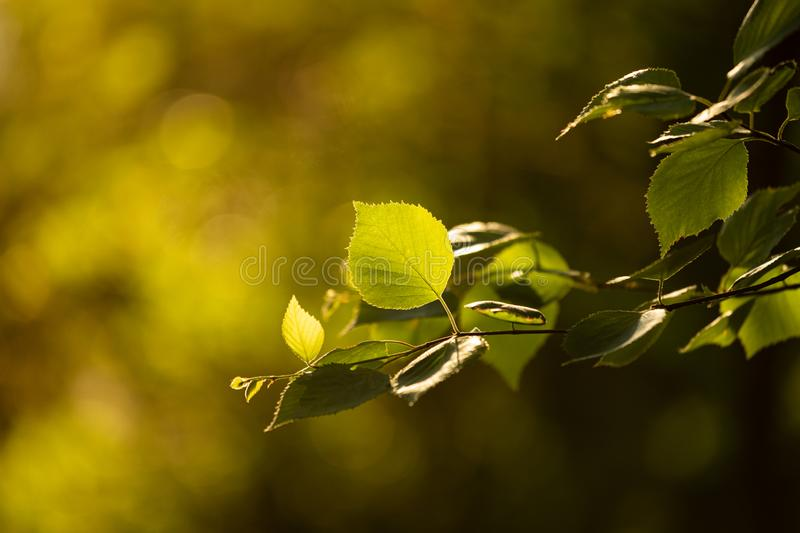 Beautiful warm light to birch leaf at summer. Day stock photos