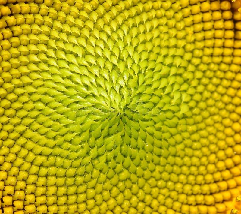Beautiful warm sunflower close stock image
