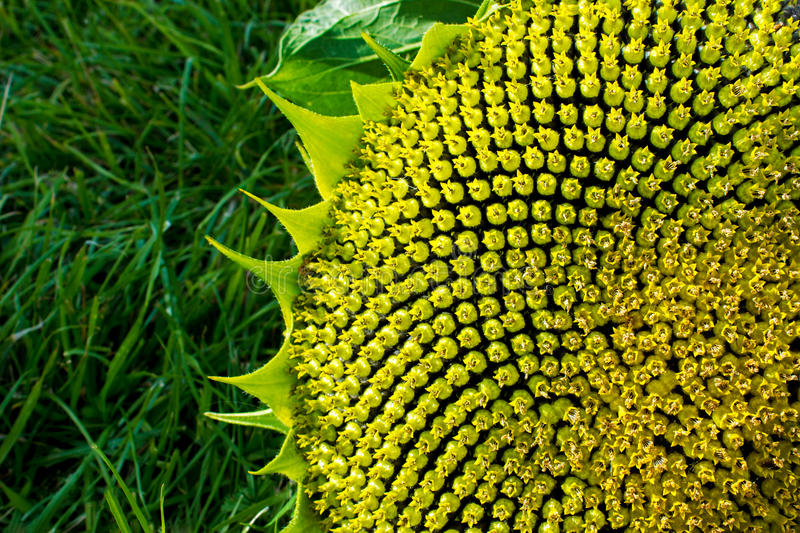 Beautiful warm sunflower close royalty free stock images