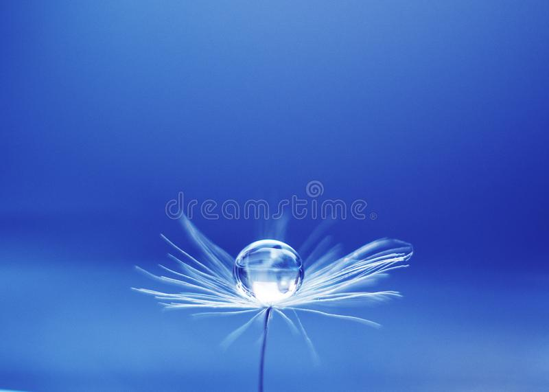 Beautiful water drop on a dandelion flower seed macro in nature. Free space for text. Wallpaper, background, desktop, cover. stock photography