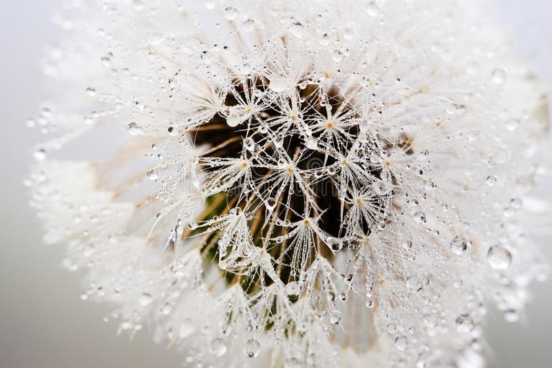 Beautiful water drops on a dandelion, among the mountains in the fog. Macro in nature stock photo