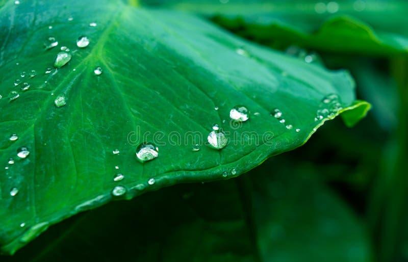 Beautiful water drops on fresh green taro leaves after rain. Close up of beautiful water drops on fresh green grass taro leaves after rain royalty free stock images