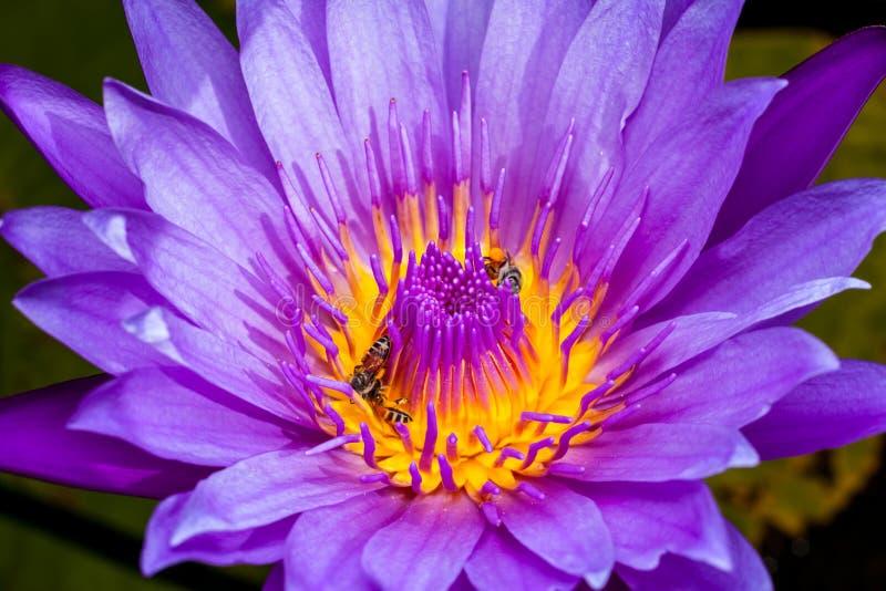 Beautiful water lilies royalty free stock photo
