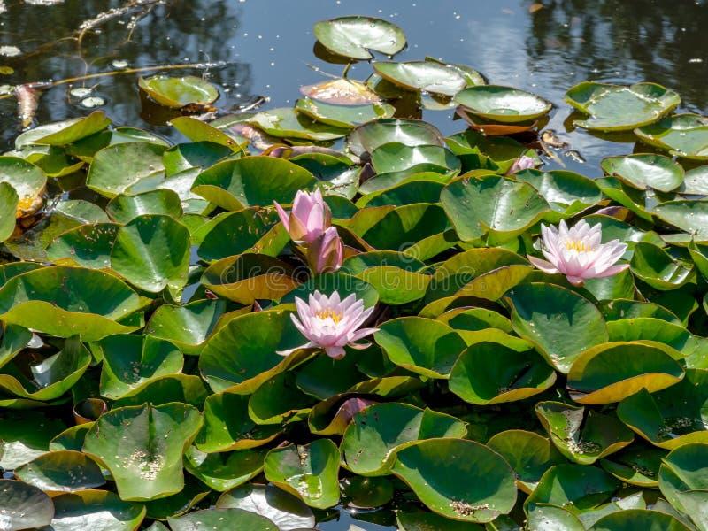 Beautiful water lilies delight passers-by. Vecpiebalga, sunny summer day, Latvia royalty free stock photography