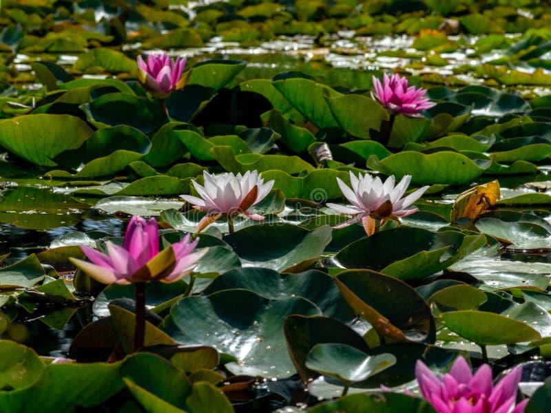 Beautiful water lilies delight passers-by. Vecpiebalga, sunny summer day, Latvia stock image