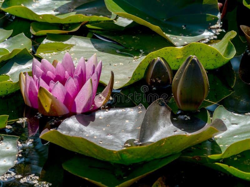 Beautiful water lilies delight passers-by. Vecpiebalga, sunny summer day, Latvia royalty free stock image