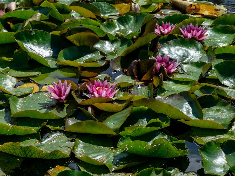 Beautiful water lilies delight passers-by. Vecpiebalga, sunny summer day, Latvia stock photo
