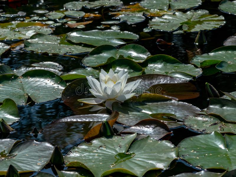 Beautiful water lilies delight passers-by. Vecpiebalga, sunny summer day, Latvia royalty free stock images