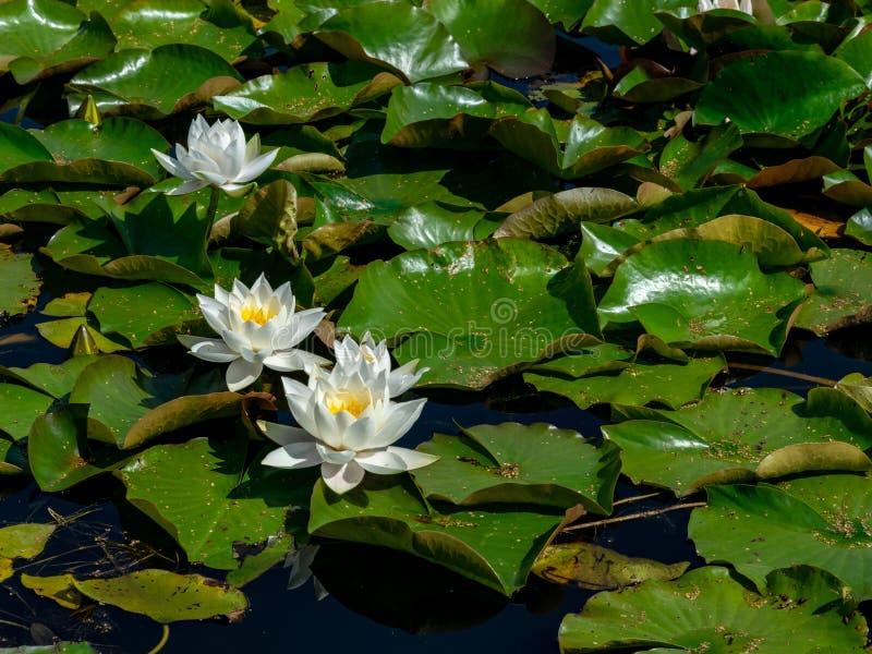 Beautiful water lilies delight passers-by. Vecpiebalga, sunny summer day, Latvia stock photos