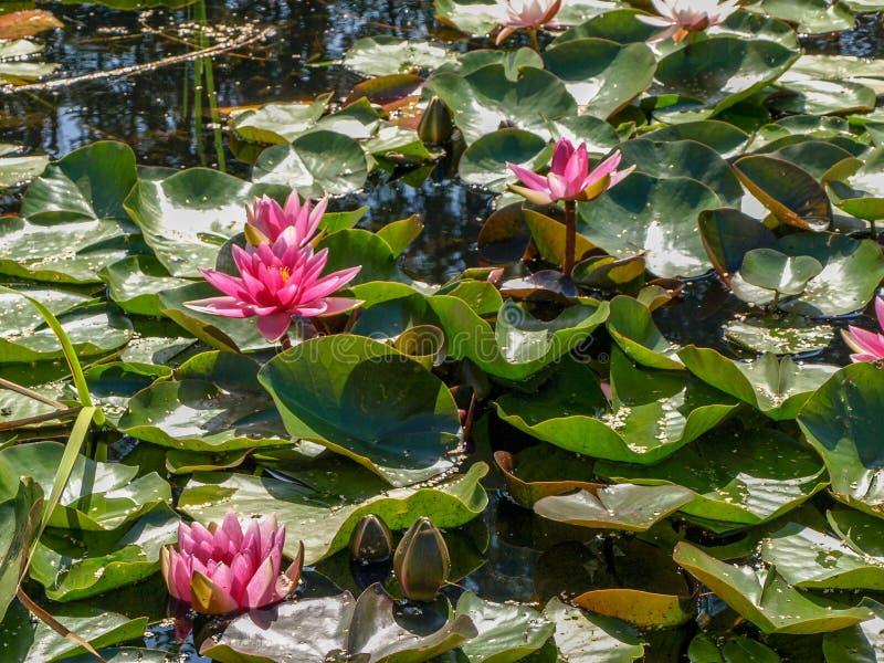 Beautiful water lilies delight passers-by. Vecpiebalga, sunny summer day, Latvia stock photography
