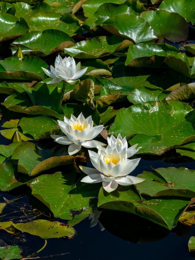 Beautiful water lilies delight passers-by. Vecpiebalga, sunny summer day, Latvia royalty free stock photo