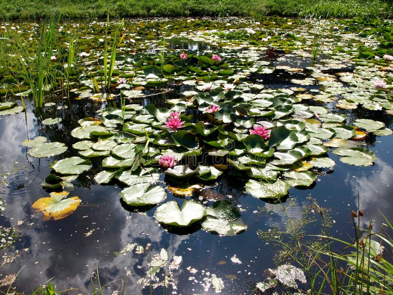 Beautiful water lilies delight passers-by. Vecpiebalga, sunny summer day, Latvia stock images