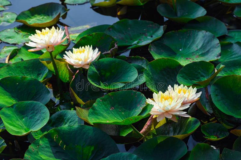 Water lilies in bloom, Japan. Beautiful water lilies flowers in bloom in pond, Japan stock photo
