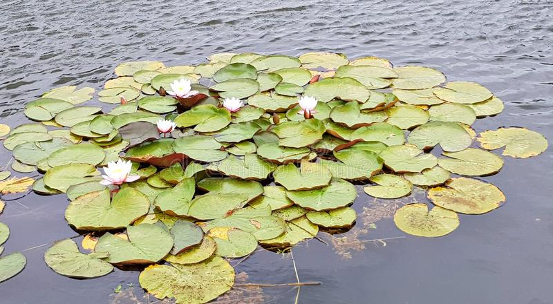 Beautiful water lilies on the surface of a small pond.  stock images