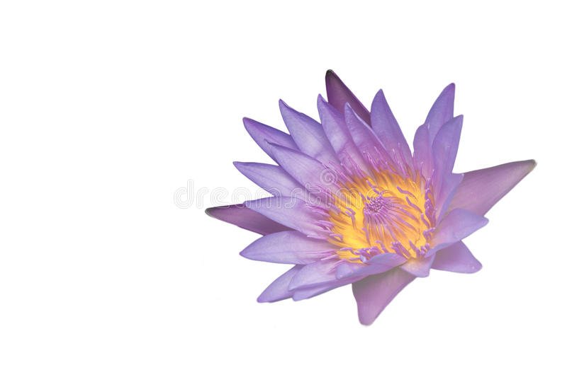 Beautiful water lilies. Beautiful water lilies on a white background stock photography