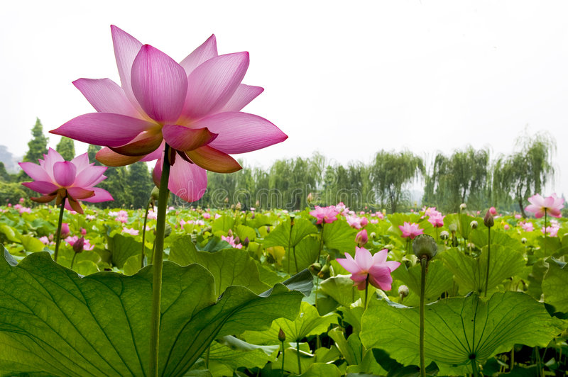 Download Beautiful water lily stock photo. Image of nature, green - 4312952