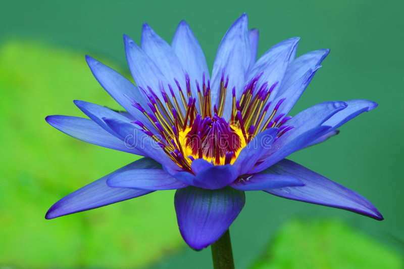 Download Beautiful Water Lily Royalty Free Stock Photos - Image: 6947668