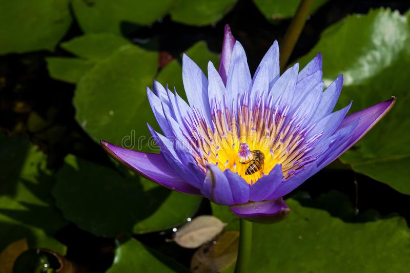 Beautiful water Lily blooming on water royalty free stock photos