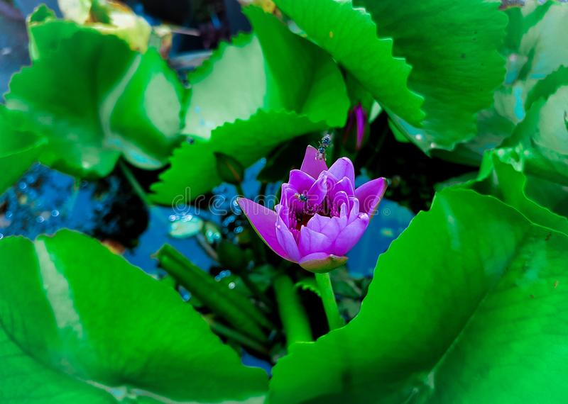 Beautiful water lily flower in the natural environment. Nymphaea capensis Cape blue waterlily is an aquatic flowering plant of the water lily family Nymphaeaceae stock photo