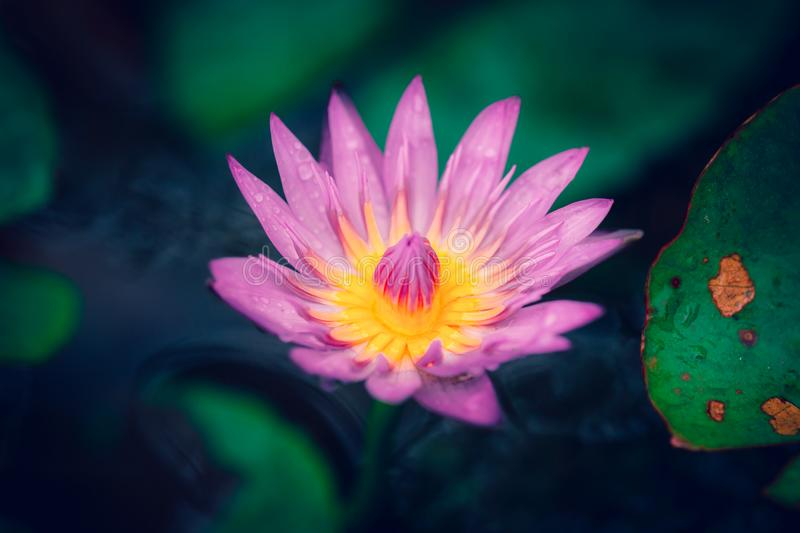 Beautiful water lily flower in pond royalty free stock photos
