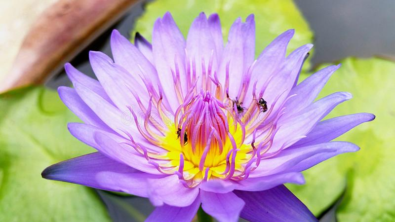 Beautiful water lily. And teamwork of bees in nature. Fresh, lotus, purple watr lily royalty free stock photography