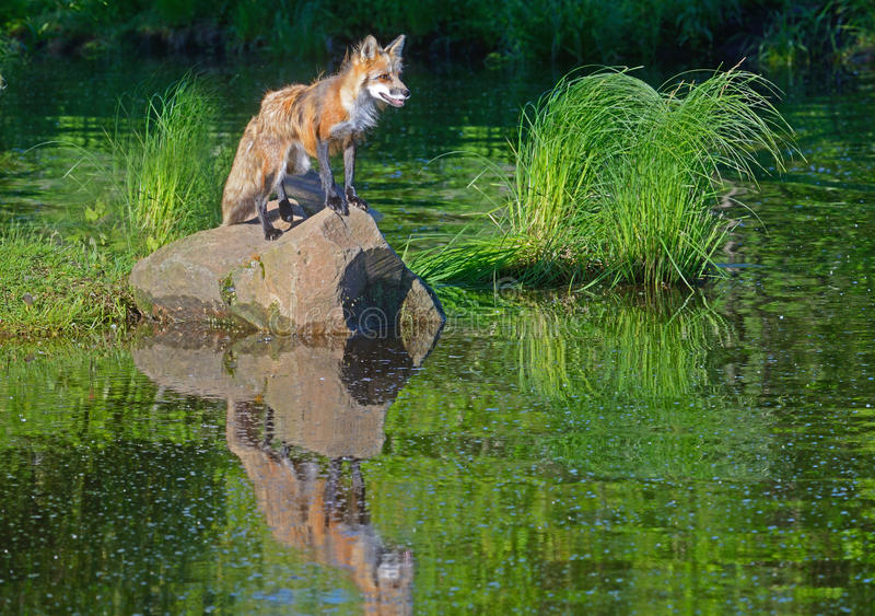 Beautiful water reflections of red fox in water. Water reflections of young red fox in clear pond stock photo