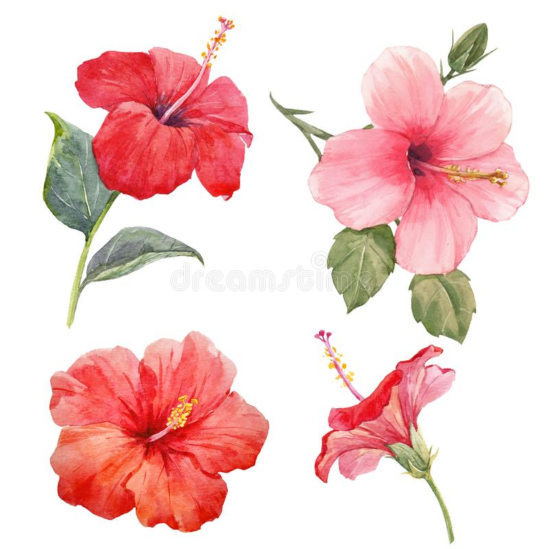 Watercolor hibiscus illustrations set royalty free stock images
