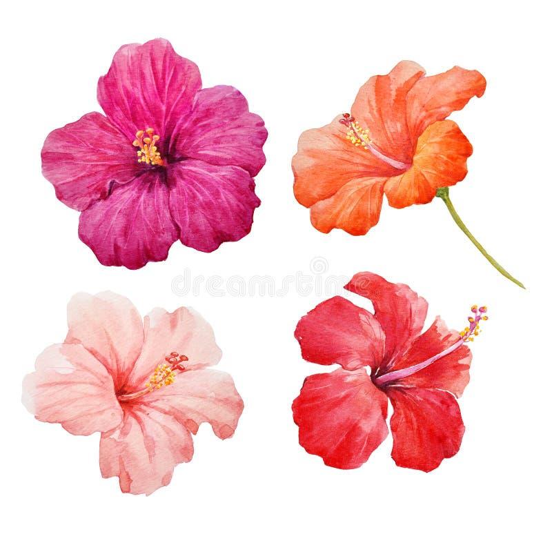 Watercolor hibiscus illustrations set stock photos
