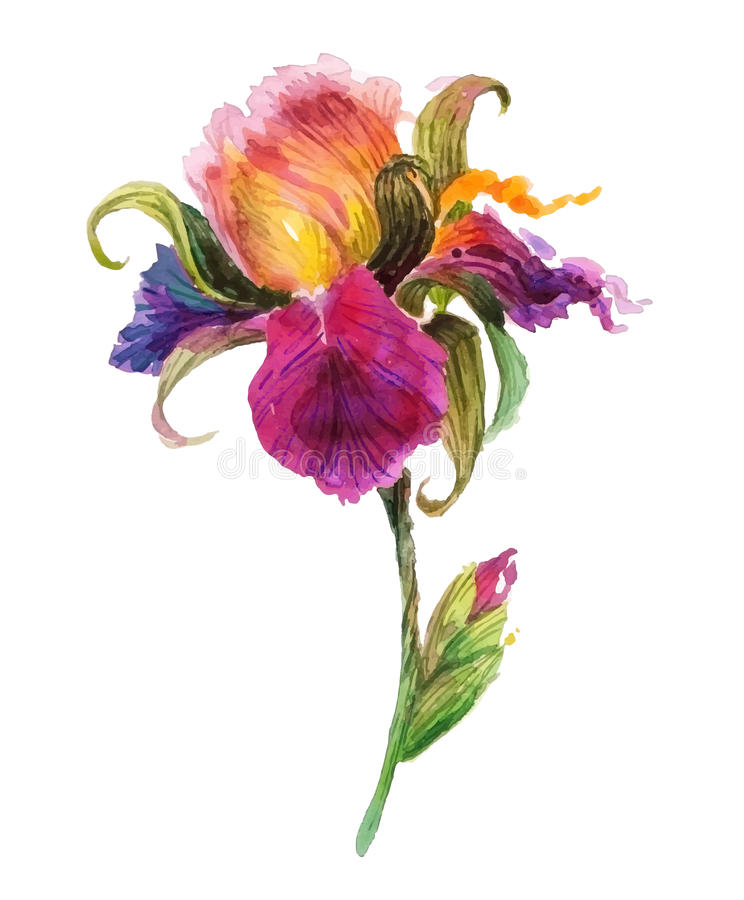 Beautiful watercolor iris flower stock illustration