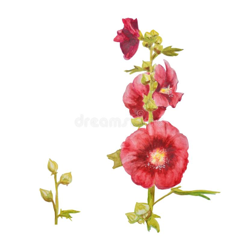 Beautiful watercolor red flowers. Mallow plant isolated on white background. royalty free illustration