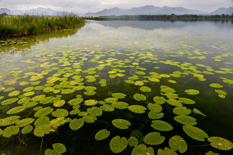 Beautiful waterlily leaves floating on a pond with the mountains in the background stock images