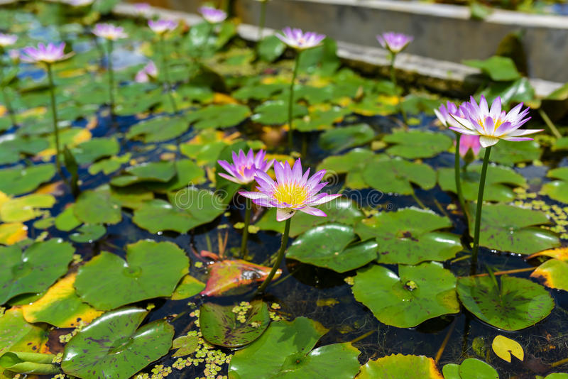 Beautiful waterlily or lotus flower on the farm thailand stock beautiful waterlily or lotus flower on the farm thailand mightylinksfo