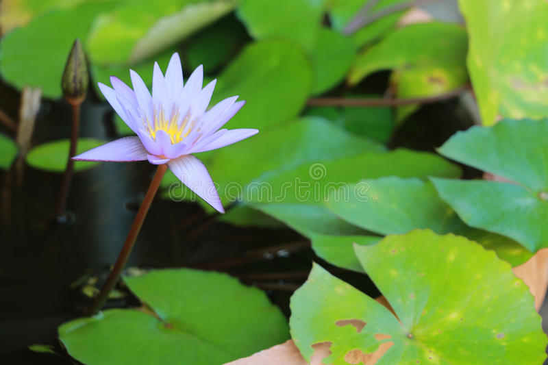 This beautiful waterlily or purple lotus flower is complimented by the drak colors of the deep blue water surface. Saturated color stock photo