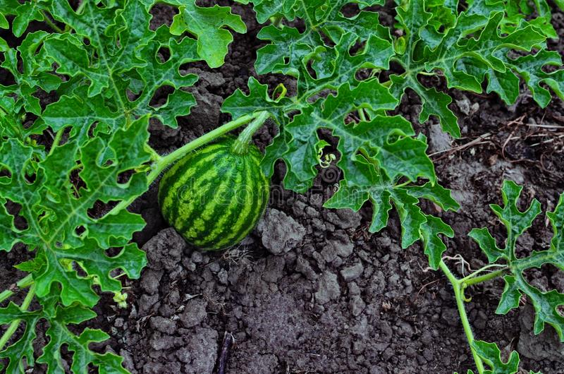 Beautiful watermelon grows on the ground in the field of nature. Watermelon plant growing in the vegetable garden in summer. Citrullus lanatus, slice, growth royalty free stock image