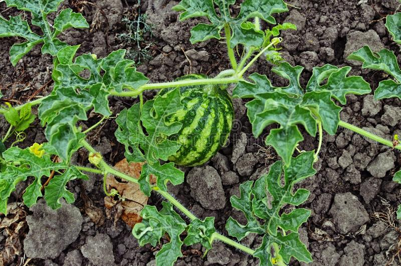 Beautiful watermelon grows on the ground in the field of nature. Watermelon plant growing in the vegetable garden in summer. Citrullus lanatus, slice, growth stock photography