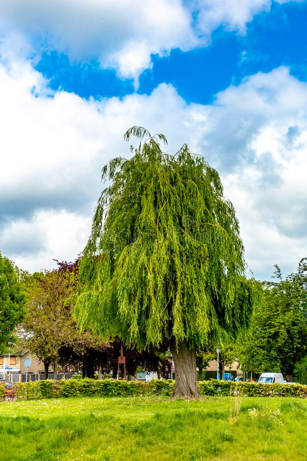 Beautiful weeping willow tree pruned on a small hill in a park with bushes and green grass stock images