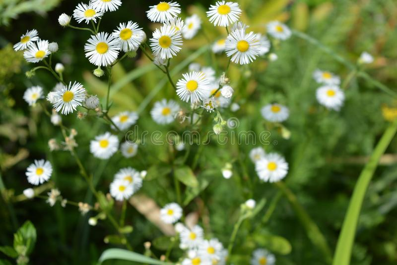 Beautiful weightless chamomile flowers with a yellow center and small white petals on a green background like chamomiles stock photo