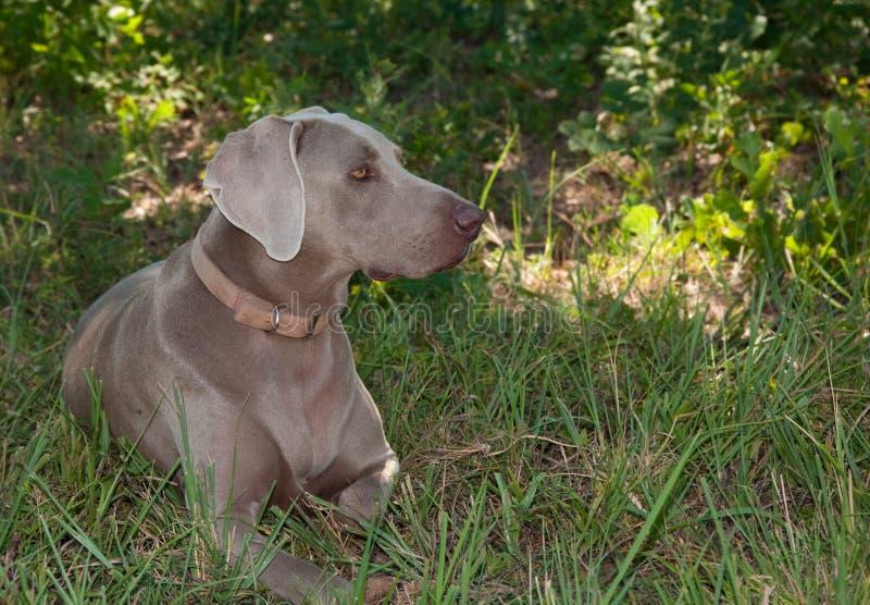 Beautiful Weimaraner dog resting in the shade stock photo