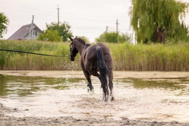 Beautiful well-groomed dark horse for a walk by the lake. A horse runs on water. Strength and Beauty royalty free stock image
