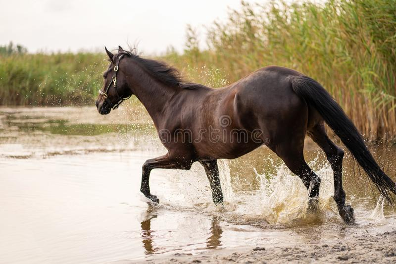 Beautiful well-groomed dark horse for a walk by the lake. A horse runs on water. Strength and Beauty stock photography