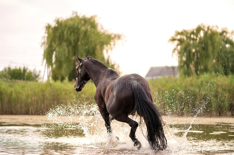 Beautiful well-groomed dark horse for a walk by the lake. A horse runs on water. Strength and Beauty stock photo