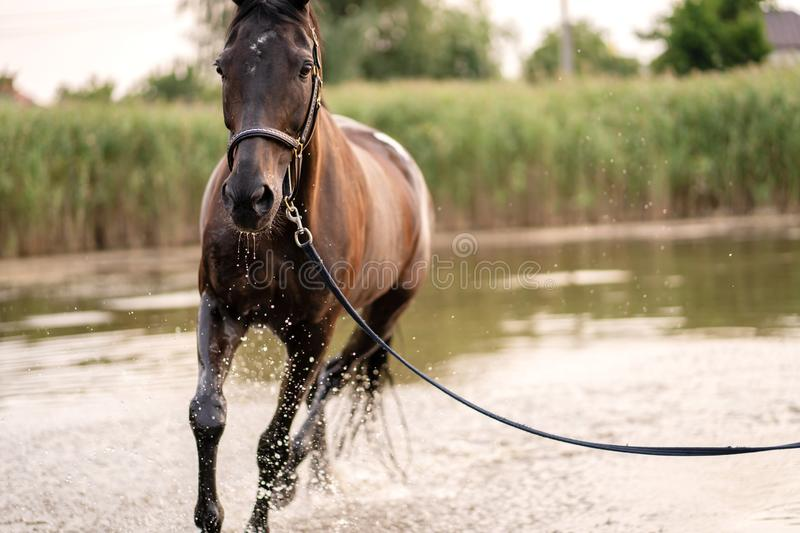 Beautiful well-groomed dark horse for a walk by the lake. A horse runs on water. Strength and Beauty stock image
