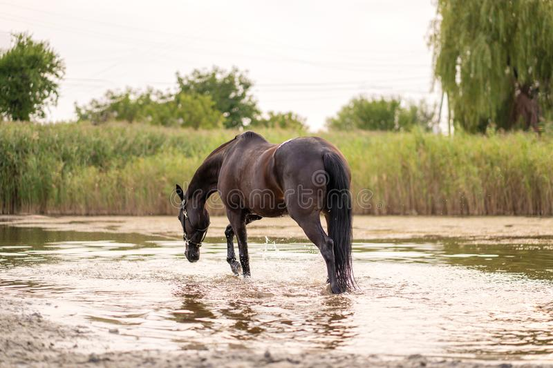 Beautiful well-groomed dark horse for a walk by the lake. A horse runs on water. Strength and Beauty stock images