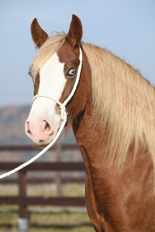 Beautiful welsh cob mare with halter. Portrait of beautiful welsh cob mare with halter royalty free stock images
