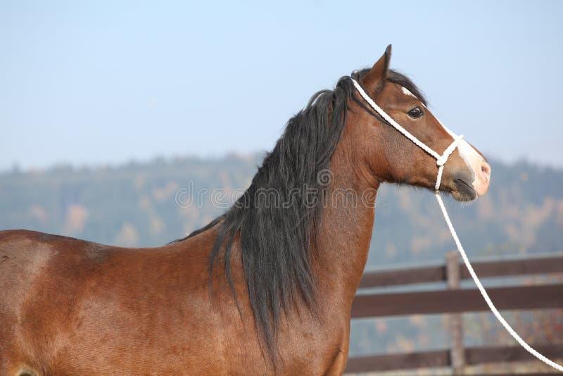 Beautiful welsh cob mare with halter. Portrait of beautiful welsh cob mare with halter stock photography